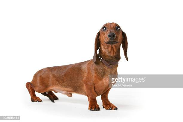 short aus langhaarigem Dachs-Hund