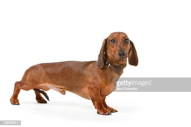 short haired badger-dog