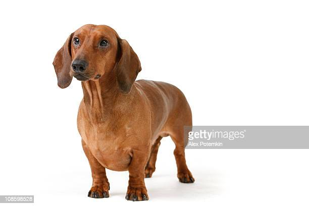 short haired badger-dog - dachshund stock pictures, royalty-free photos & images