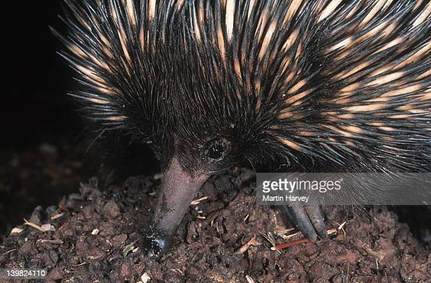 Short-beaked Echidna, Tachyglossus aculeatus, feeding on termites. An egg-laying mammal, Australia.