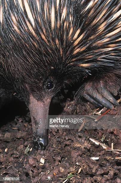 Short-beaked Echidna, Tachyglossus aculeatus, is an egg-laying mammal. Australia.
