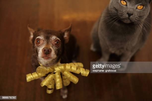 Shortcoat Chihuahua dog and Chartreux cat sitting on the floor