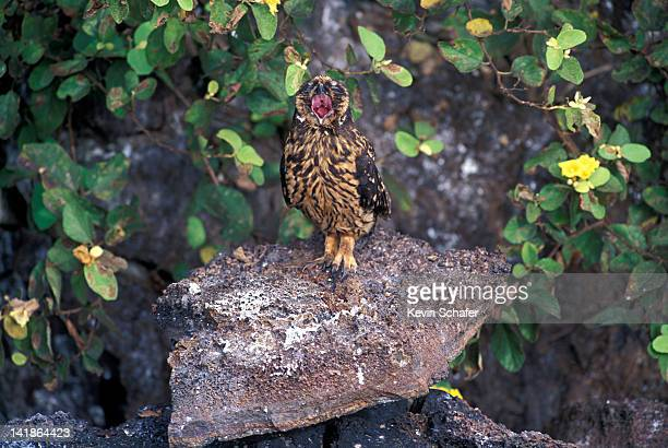 Short-eared Owl, Asio flammeus, on rock with open mouth, Tower Island, Galapagos Islands, Ecuador