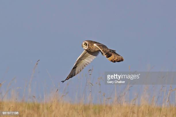 Short-Eared Owl [Asio flammeus]