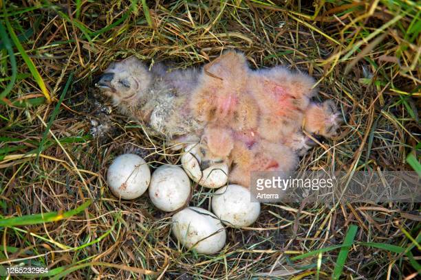 Shorteared owl chicks and clutch of eggs in nest on the ground in grassland