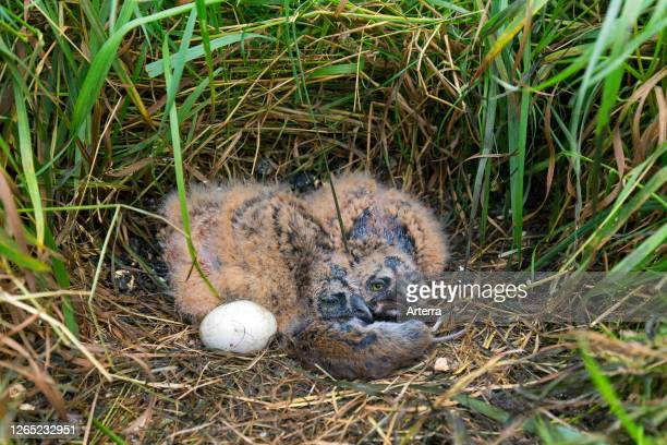 Shorteared owl egg and two chicks in nest on the ground in grassland with dead vole prey as food