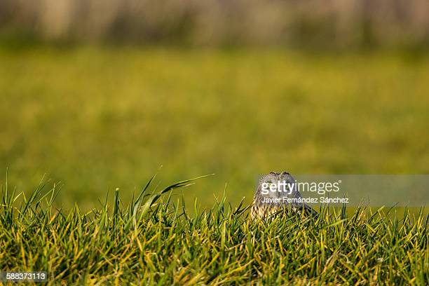 Short-eared owl (Asio flammeus) hidden