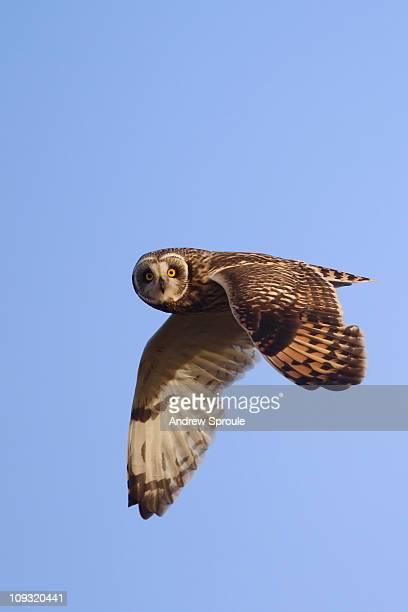 Short-eared Owl (Asio flammeus) in flight
