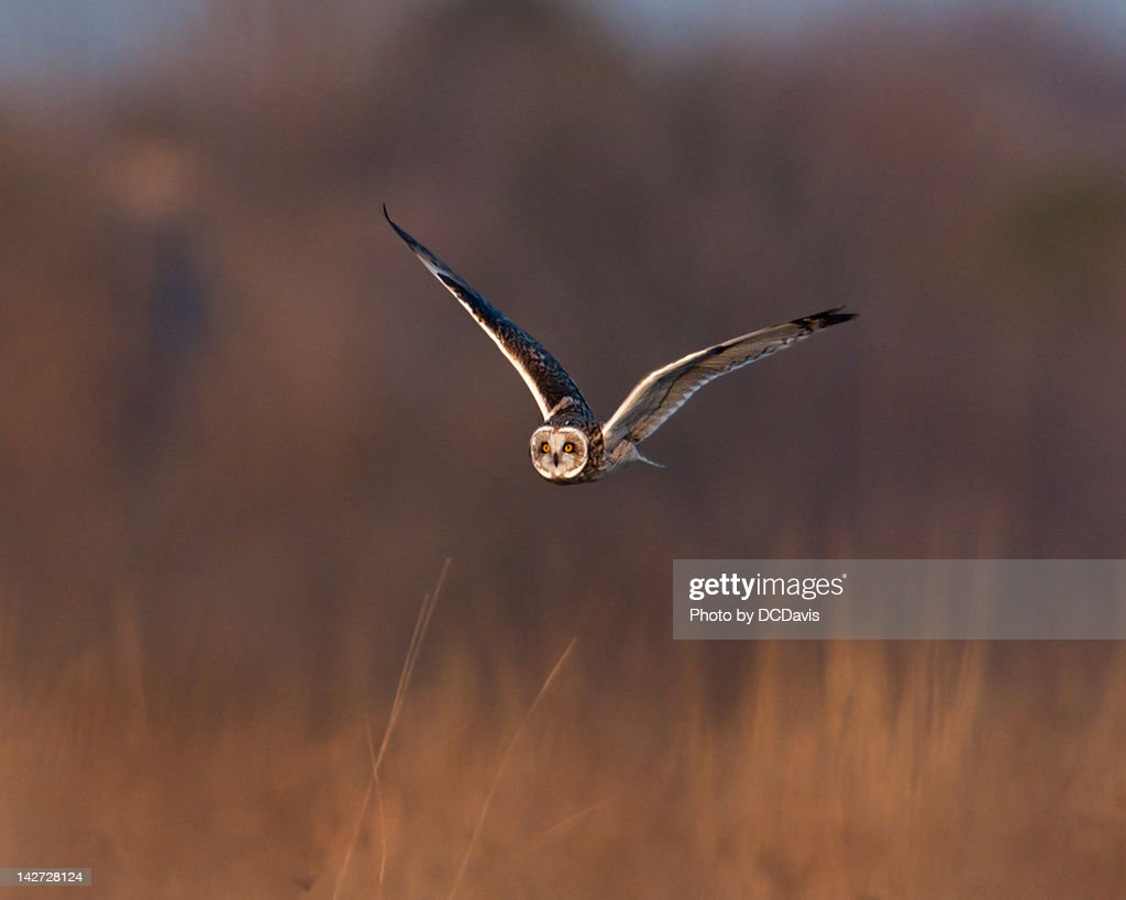 Short-eared Owl : Stock Photo
