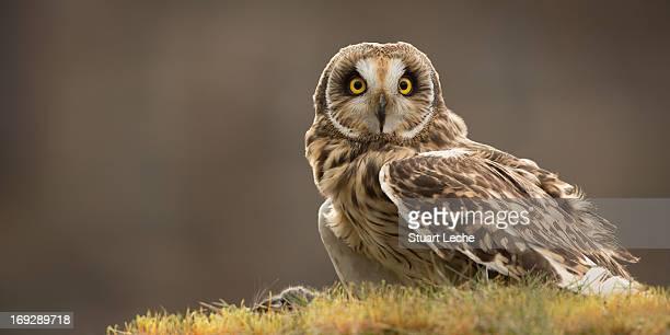 short-eared owl - ウェルシュプール ストックフォトと画像
