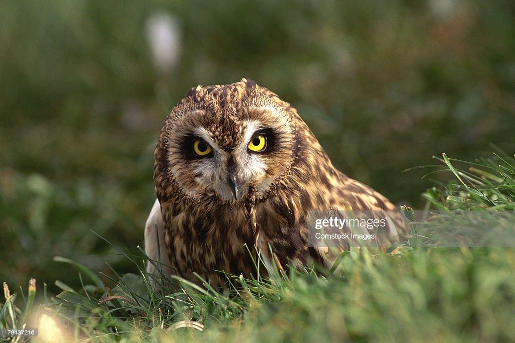 Short-Eared Owl : Stockfoto