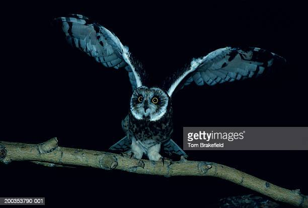 Short-eared owl with wings spread, North America