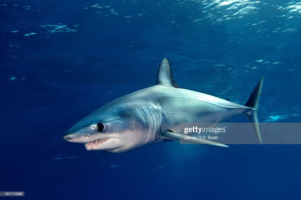 Shortfin mako sharks : Stock Photo