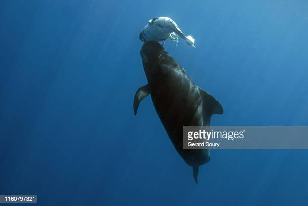 a short-finned pilot whale pushing a born dead calf up to the surface - mammal stock pictures, royalty-free photos & images