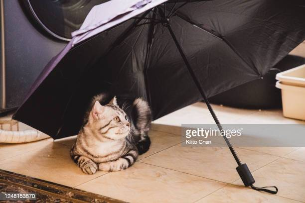 shorthair striped cat lying under a umbrella - tabby stock pictures, royalty-free photos & images