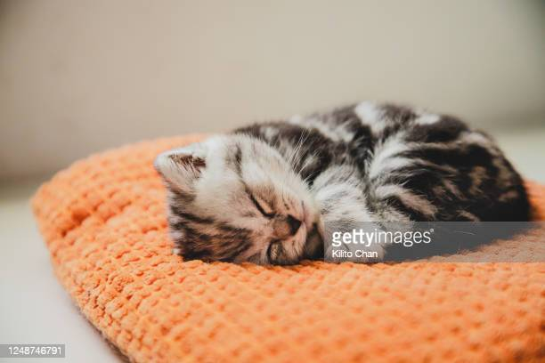 shorthair striped cat taking a nap on a pillow - feline stock pictures, royalty-free photos & images