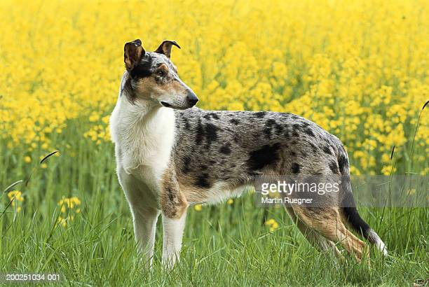 18 Short Haired Border Collie Photos And Premium High Res Pictures Getty Images