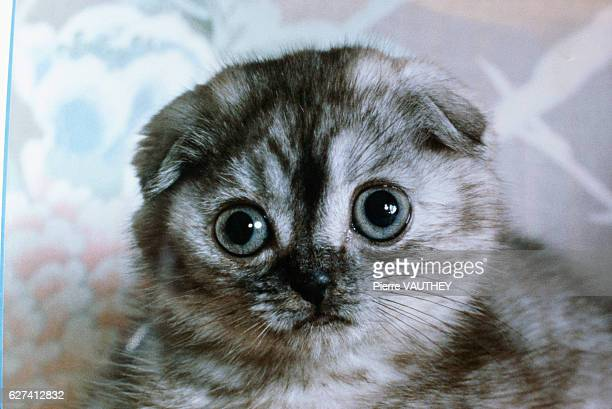 A shorthaired gray Scottish Fold cat