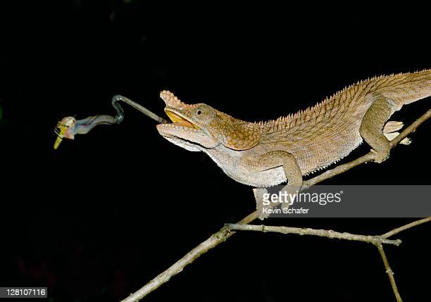 Short-horned Chameleon (Furcifer brevicornis), catching insect prey with tongue. Andasibe-Mantadia National Park, Perinet Reserve, Madagascar