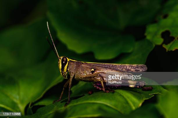 Short-horned grasshopper , are herbivorous and include some of the most destructive agricultural pests known on July 21, 2021 in Tehatta, West...