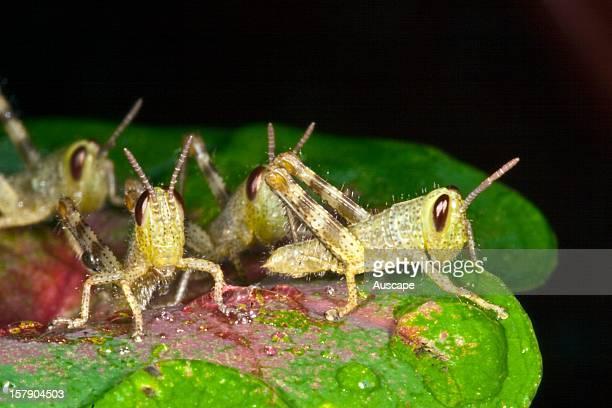 Orthoptera fam Acrididae North Queensland Australia
