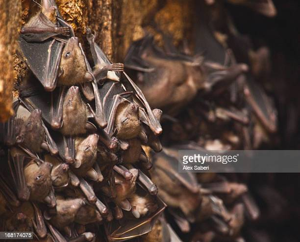 short-nosed fruit bats, cynopterus spp. hanging in a group. - alex saberi stock pictures, royalty-free photos & images