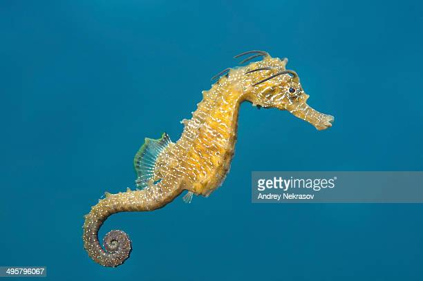 short-snouted seahorse -hippocampus hippocampus-, black sea, crimea, ukraine - sea horse stock photos and pictures