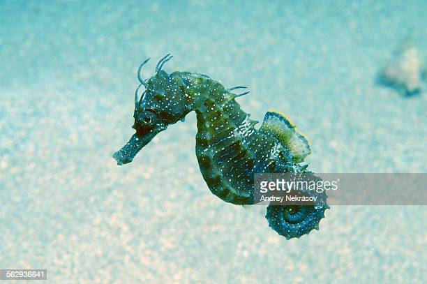 short-snouted seahorse -hippocampus hippocampus-, black sea, crimea, russia - sea horse stock photos and pictures
