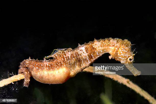 Short-snouted Seahorse -Hippocampus hippocampus-, male with eggs, Black Sea, Crimea, Ukraine