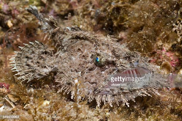 Shortspined Anglerfish Lophius budegassa Cap de Creus Costa Brava Spain