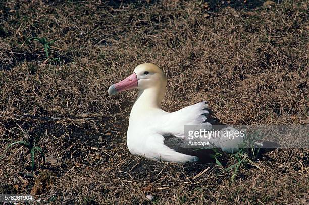 Shorttailed albatross Phoebastria albatrus incubating Torishima Island is a volcanic peak rising out of the Pacific Ocean South of Japan and an...