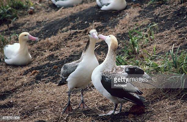 Shorttailed albatross Phoebastria albatrus pair courting Vulnerable species Torishima Island is a volcanic peak rising out of the Pacific Ocean South...