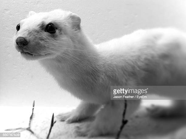 Short-Tailed Weasel Outdoors