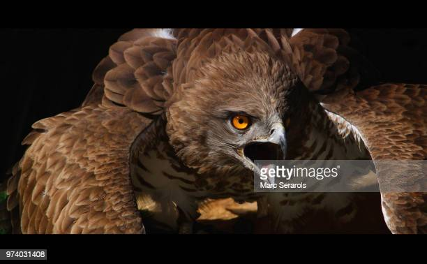 short-toed snake eagle (circaetus gallicus) with open beak, catalonia, spain - snavel stockfoto's en -beelden