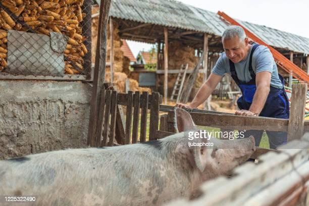 ontsproten van glimlachende landbouwersarbeider die zich in varkenspen bevindt - varkensvlees stockfoto's en -beelden