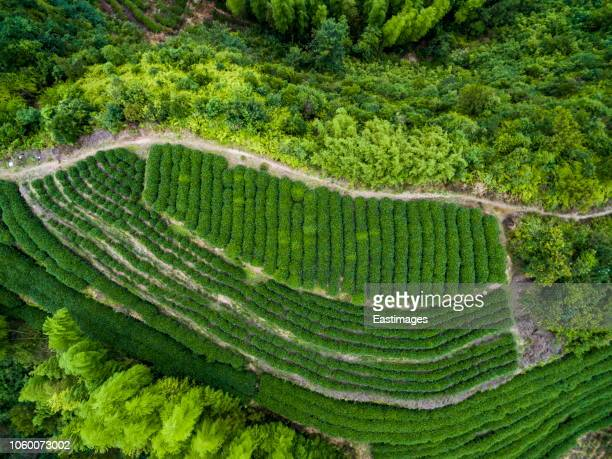 aerial shot of tea fields /fujian, china - tea tree oil stock photos and pictures