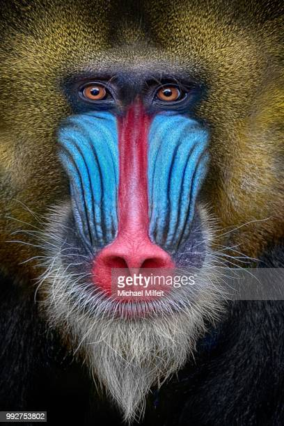 shot-coloured - baboon stock pictures, royalty-free photos & images