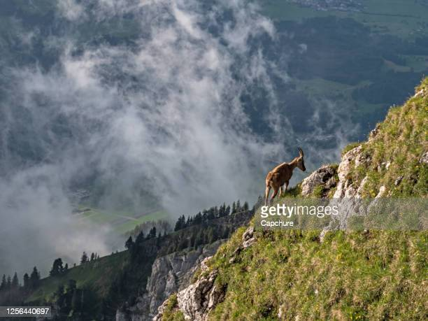 shots of a wild ibex mountain goat gazing on grass on a cliff side in the high alps in the pilatus region of switzerland. - switzerland stock pictures, royalty-free photos & images