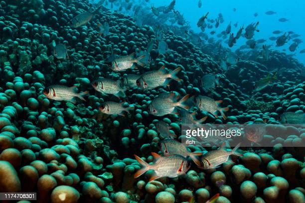 shoulderbar soldiervissen en sammara squirrelvissen op harde koraal veld van pavona clavus, palau, micronesië - squirrel fish stockfoto's en -beelden