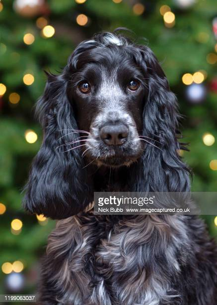 show blue roan cocker spaniel - cocker spaniel stock pictures, royalty-free photos & images