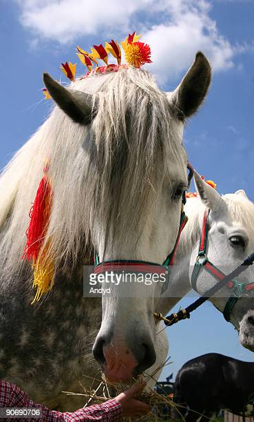 show horse - shire horse stock pictures, royalty-free photos & images