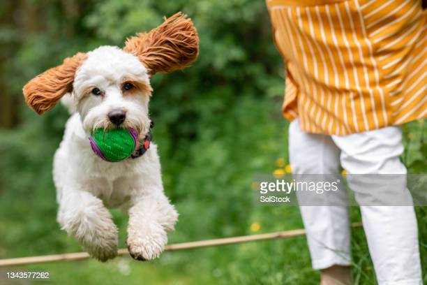 show jumping cavapoo - morpeth stock pictures, royalty-free photos & images