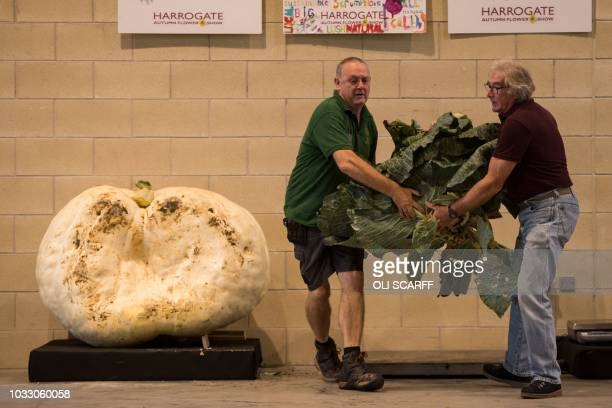 Show staff weigh cabbages and pumpkins entered into the giant vegetable competitions on the first day of the Harrogate Autumn Flower Show held at the...