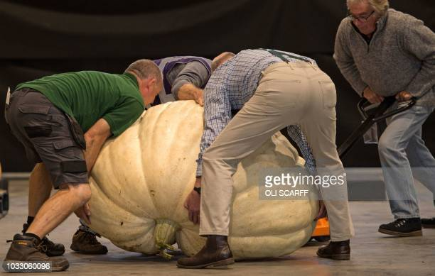 Show staff weigh pumpkins entered into the giant pumpkin competition on the first day of the Harrogate Autumn Flower Show held at the Great Yorkshire...