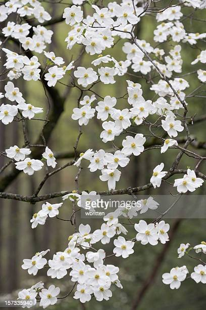 shower of dogwood blossoms - dogwood blossom stock pictures, royalty-free photos & images