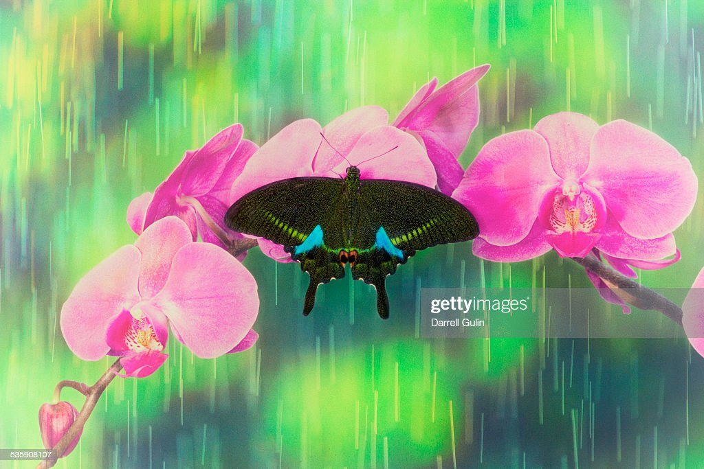 Showers on orchid and Paris swallowtail butterfly : Stock-Foto