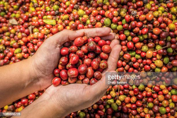 Showing red coffee berries in hand