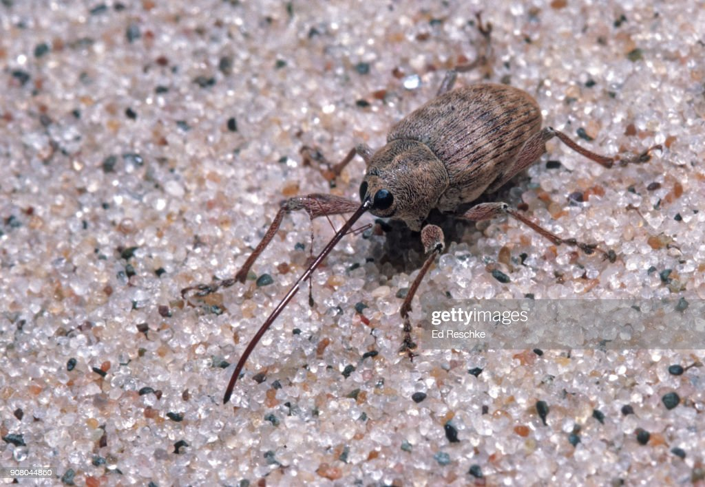 BLACK OAK ACORN WEEVIL (Curculio rectus) showing the classic snout or nose of many weevils : Stock Photo