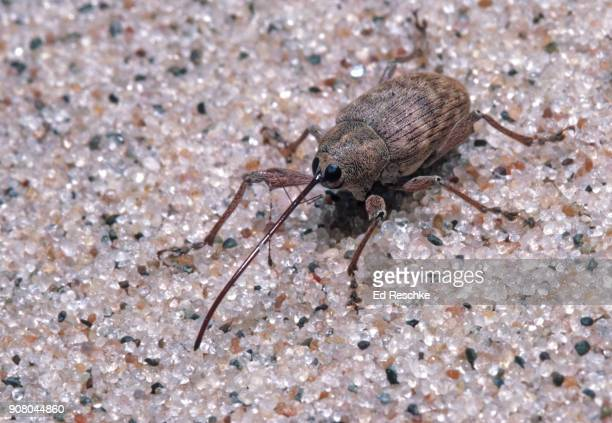 black oak acorn weevil (curculio rectus) showing the classic snout or nose of many weevils - ed reschke photography stock photos and pictures