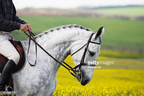 Show-jumping horse portrait in canola